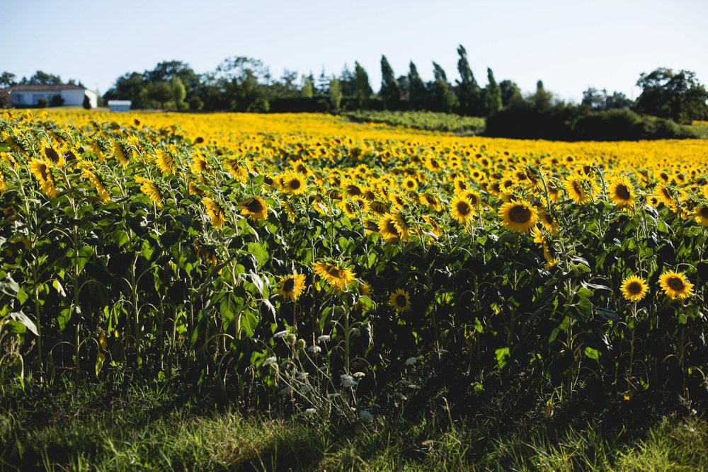 sun flower fields